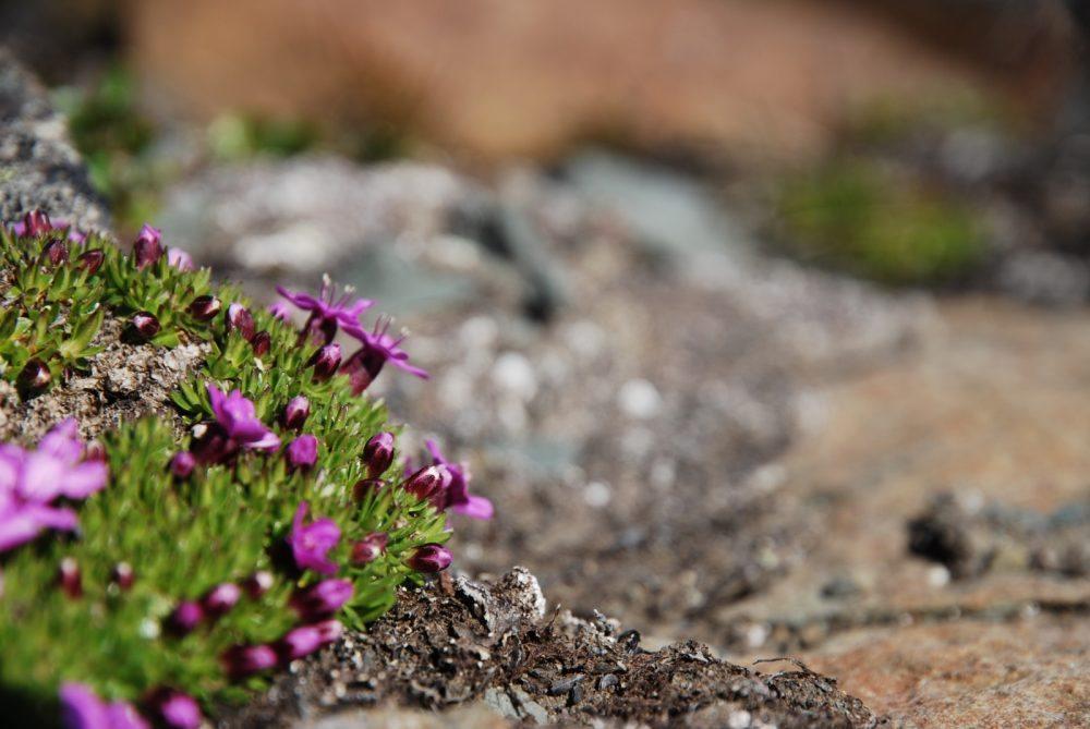 Flora på sommerstid på Svalbard