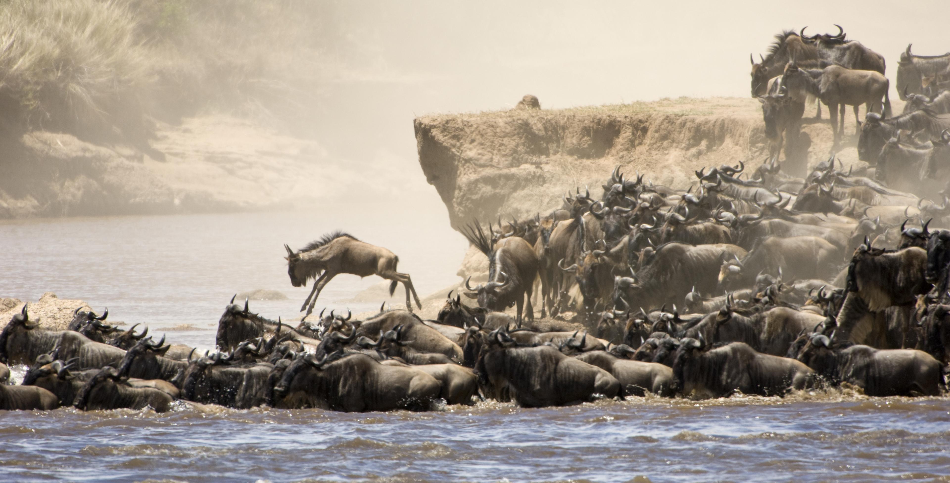 What Is Wildebeest Migration Safaris Masai Mara