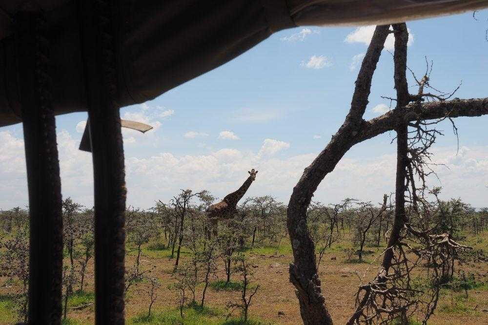 Giraffe seen from inside safari jeep on game drive in Masai Mara, Kenya.