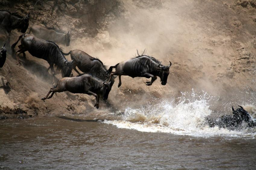 The Great Migration Wildebeest river crossing Masai Mara Kenya