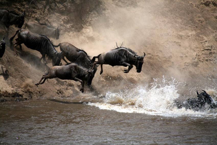 The Great Migration Wildebeest river crossing Masai Mara Kenya