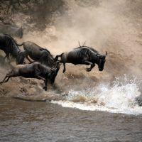 The Great Migration wildebeest rivercrossing in Masai Mara, Kenya.