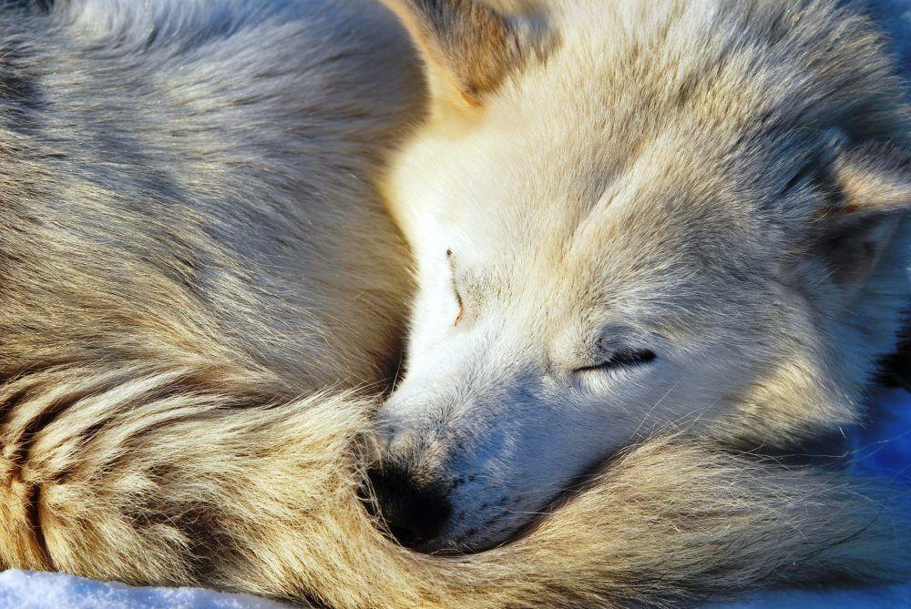 Huskies Dog Sledding Spitsbergen