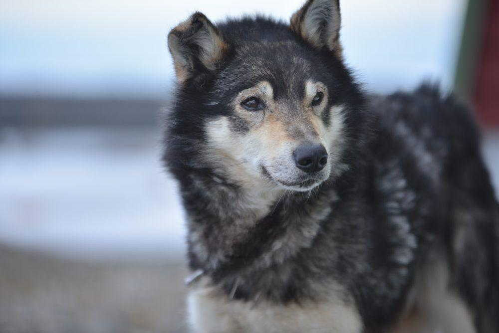 Huskies Dog Sledding Spitsbergen