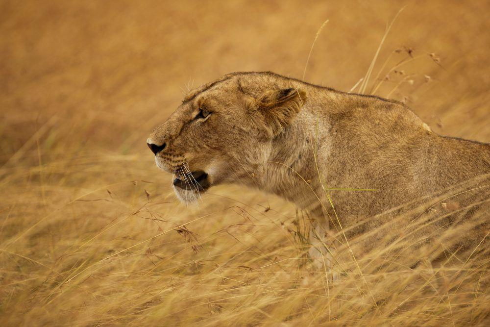 Lioness hunting in grass on the savannah in Masai Mara.