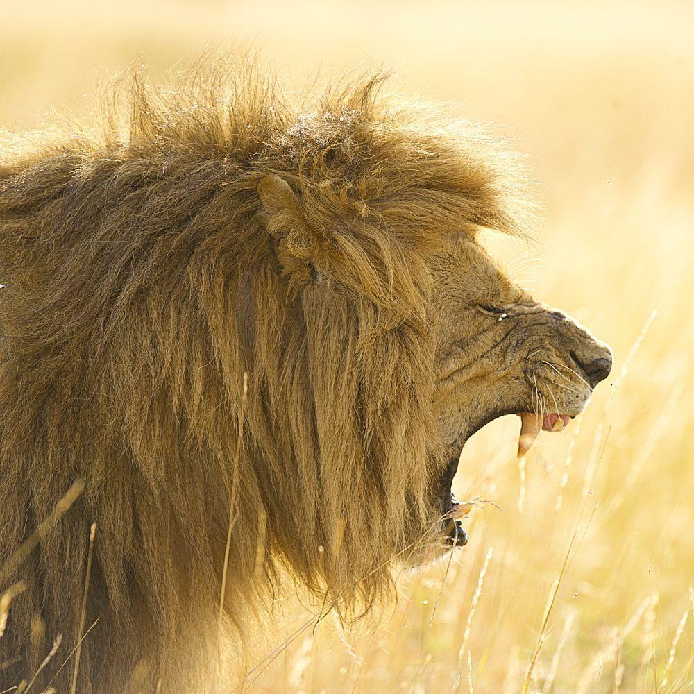 Lion Wildlife Masai Mara