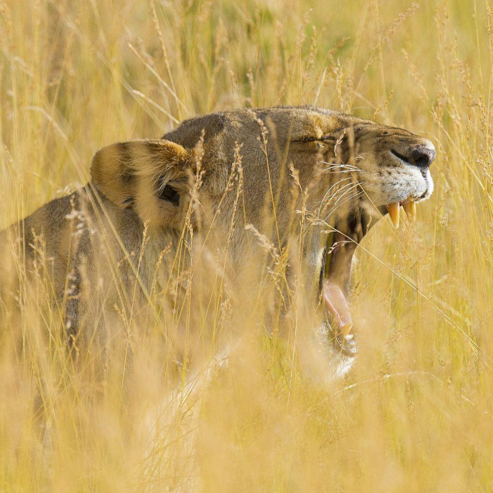 Løve Dyreliv i Masai Mara Kenya