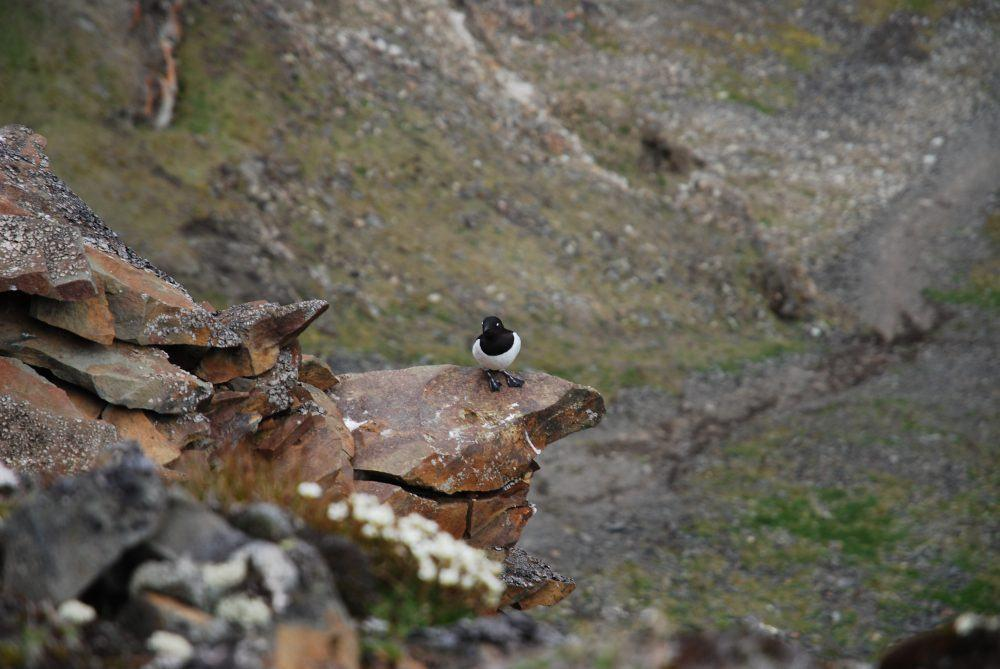 Little Auks at Longyearbyen Spitsbergen