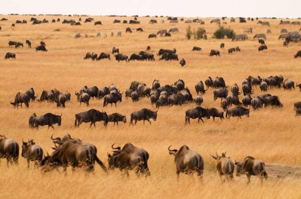 Migrasjon Masai Mara Kenya