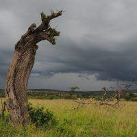Dead tree trunk on the savannah with storm clouds in the background in Masai Mara.
