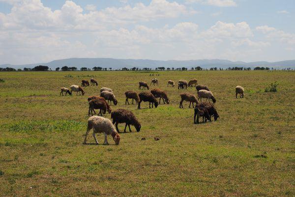 Herd of sheep at local village in Masai Mara, Kenya.