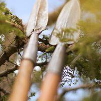 Closeup of Maasai spears leaning on tree branches.