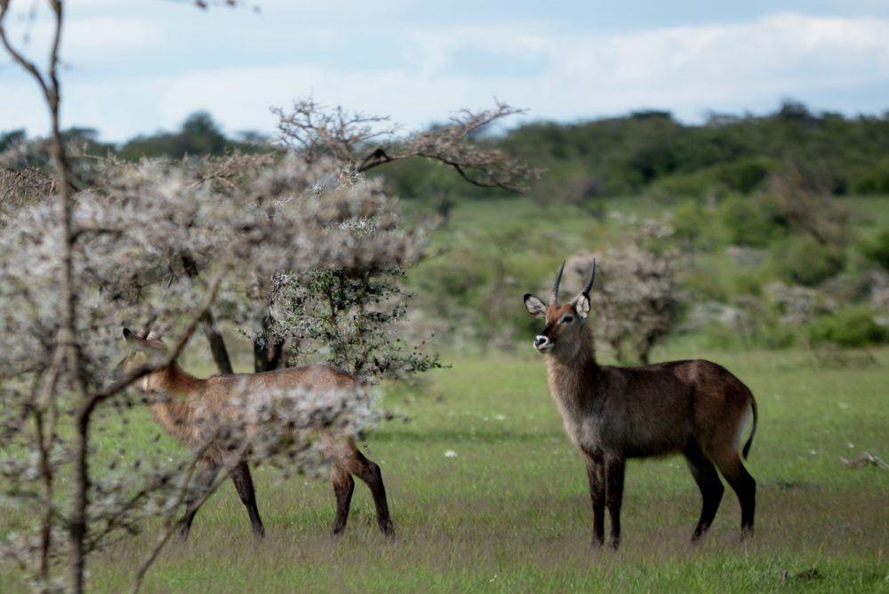 Dyreliv i Masai Mara Kenya
