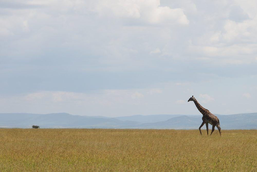 Giraffe walking over the savannah in Masai Mara, Kenya.