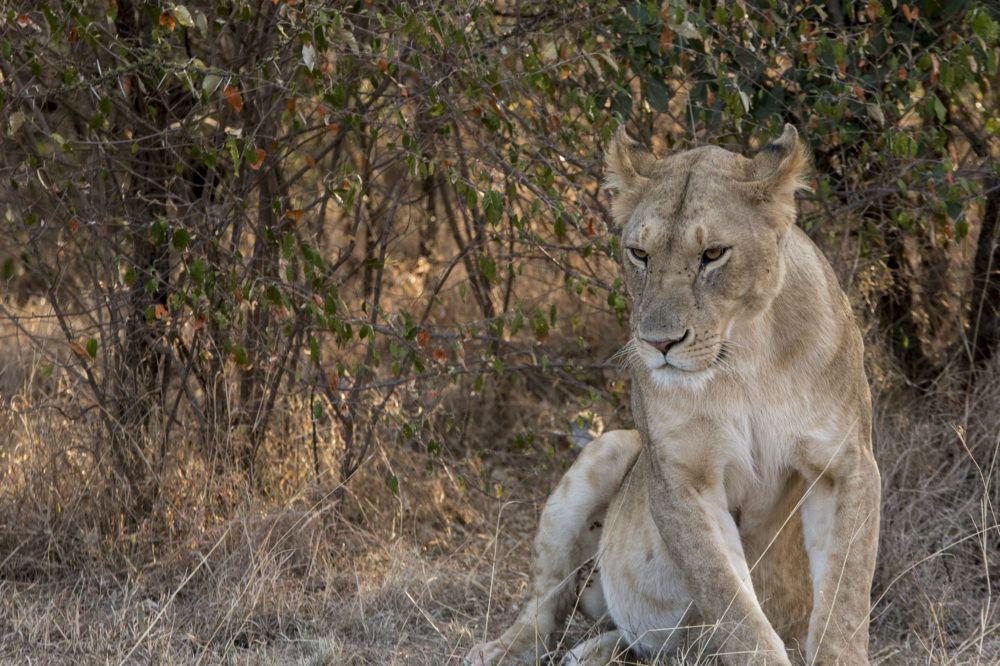 Lion in Mara Naboisho