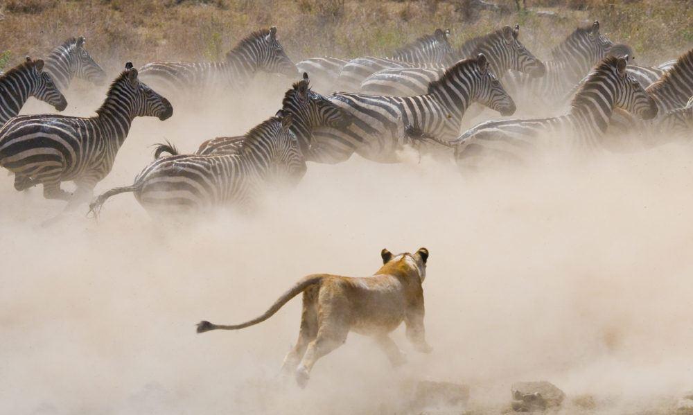 migration_masaimarasafari_lion