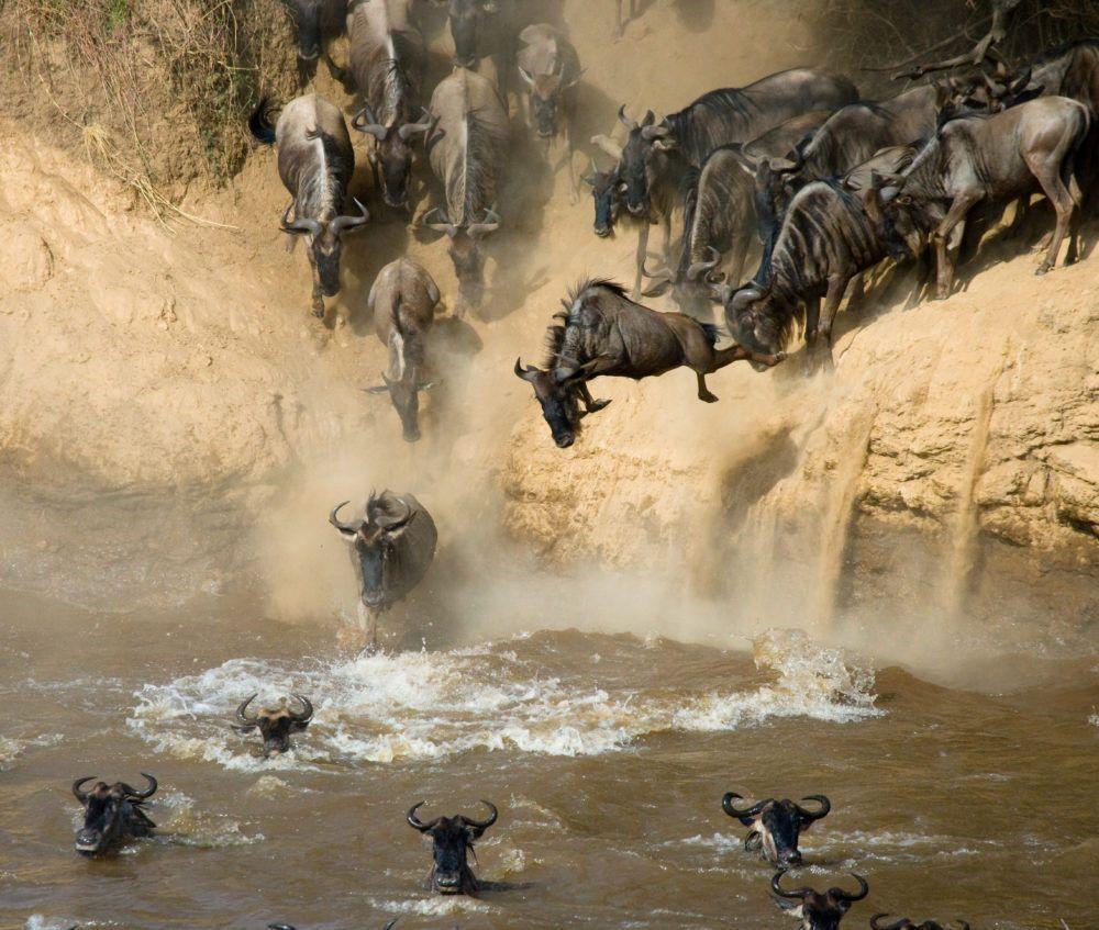 migration_masaimarasafari_rivercrossing