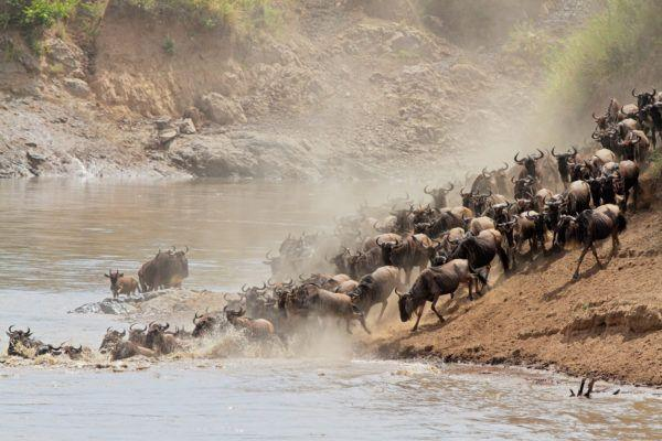 The Great Wildebeest Migration of Masai Mara (Picture Credit: Basecamp Explorer)
