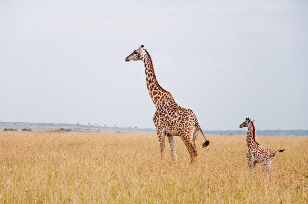 wildlife_masaimarasafari_giraf