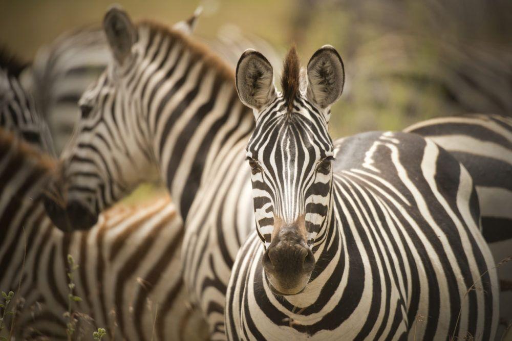 wildlife_masaimarasafari_zeepra