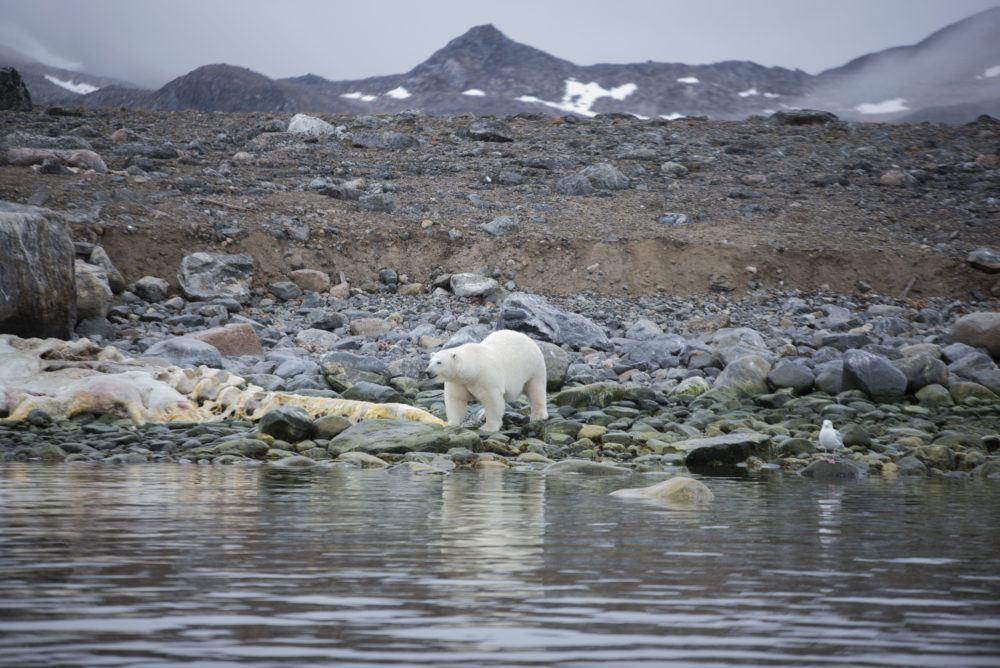arctic_sailing_wildlife_jukkaikonen11