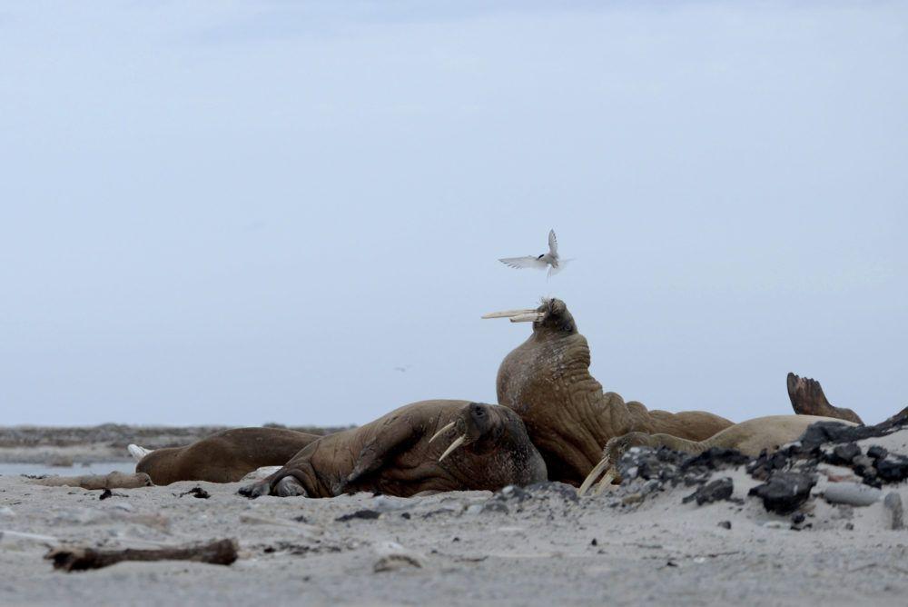 arctic_sailing_wildlife_jukkaikonen7