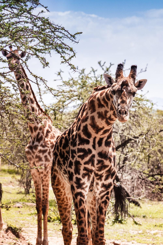 Two giraffes looking into the camera from Masai Mara safari in Kenya.