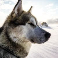 Husky dog in winter landscape.