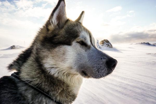 Husky dog in winter landscape.