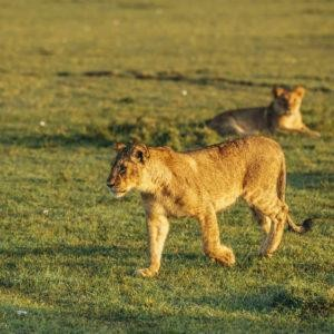 Lioness lying in grass in the background, young lioness walking on grass in the foreground, from Masai Mara, Kenya.