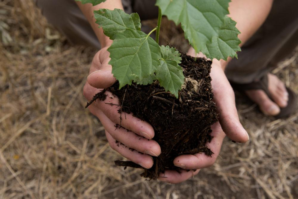 Two hands holding mound of soil with tree sapling.