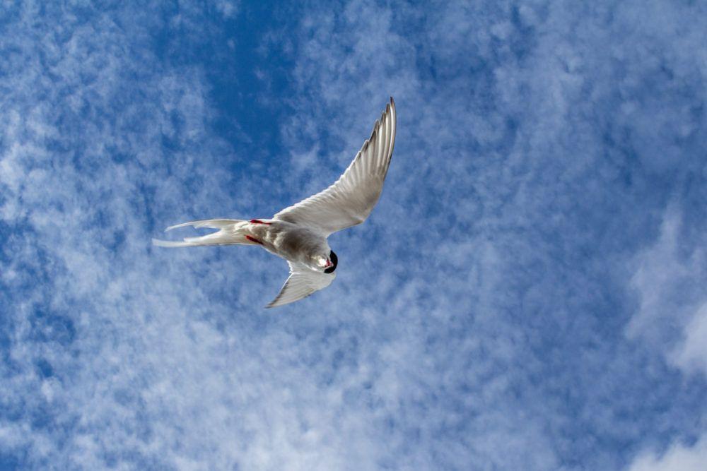 Arctic Tern, Isfjord Radio