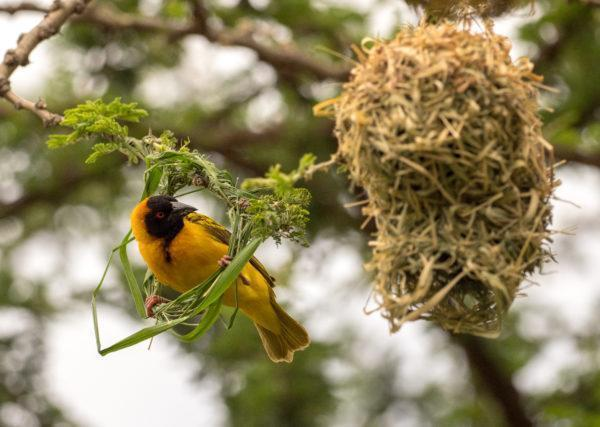 Bright yellow bird with black feathers building a nest in the branches of a tree in Masai Mara, Kenya.
