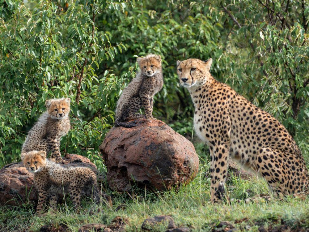 One adult female cheetah with three cheetah cubs sitting on rocks in Mara Naboisho Conservancy.